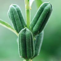 sesam-pflanze